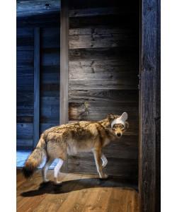 Coyote Série Accidents de chasse