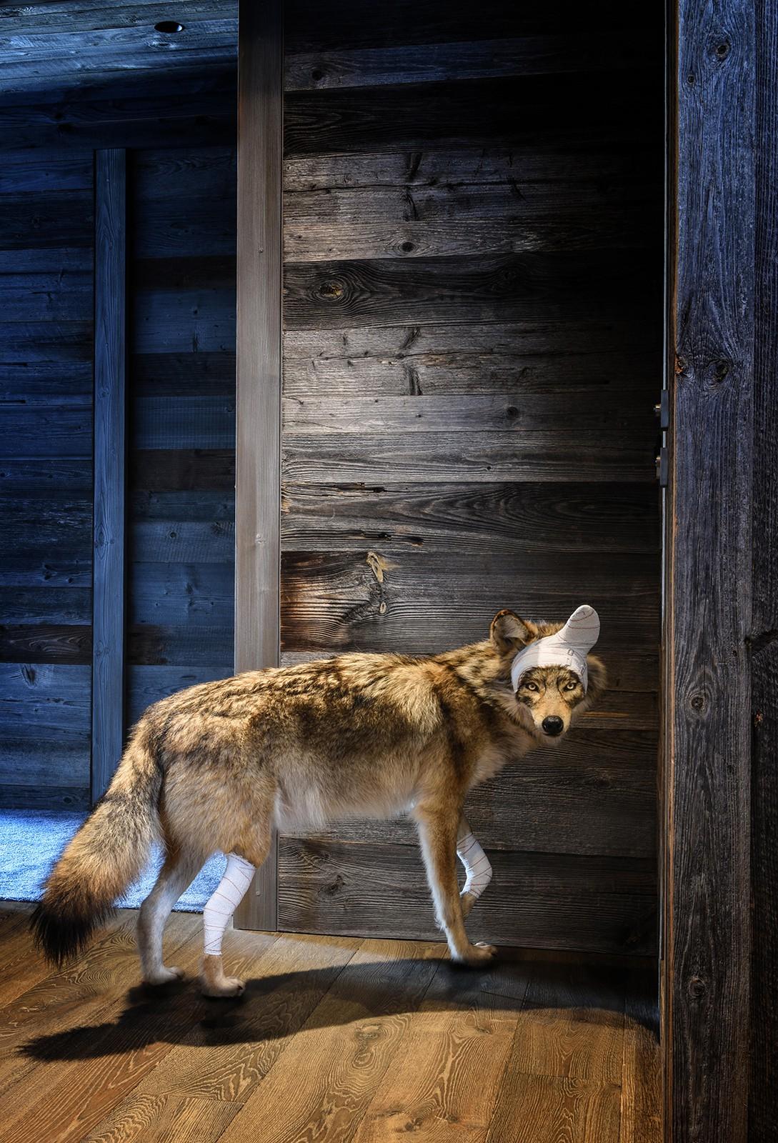 pascal bernier coyote s rie accidents de chasse animalier vente d 39 art. Black Bedroom Furniture Sets. Home Design Ideas