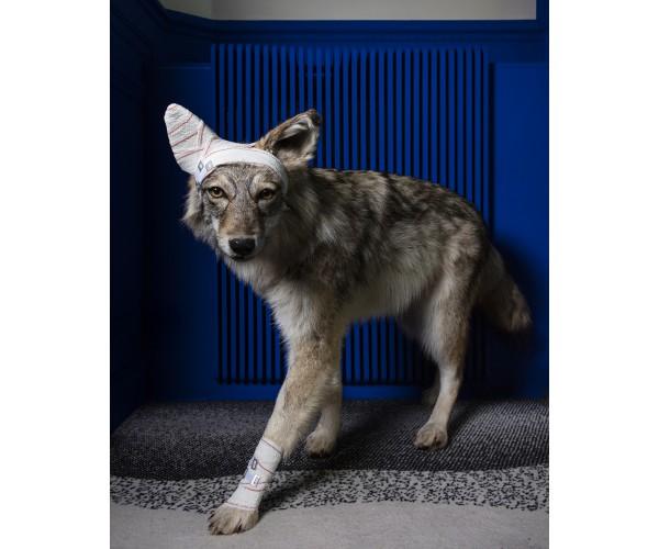 Coyote Série Accidents de chasse Pascal Bernier - Vente d'Art
