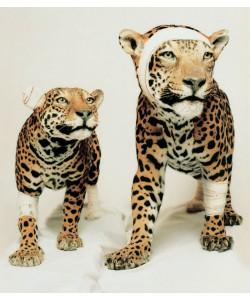 Couple de Jaguars